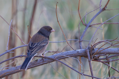 Dark-eyed Junco - Mines Road, CA, USA