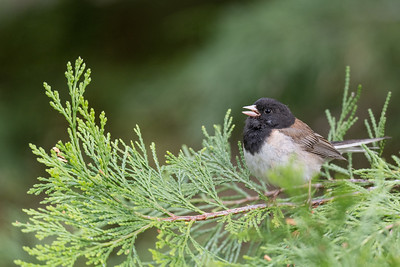 Dark-eyed Junco - Plumas County, CA, USA