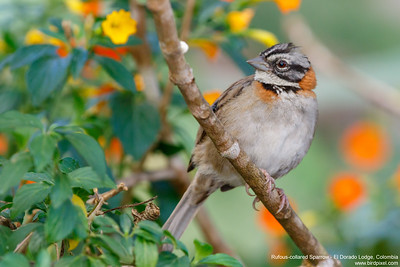 Rufous-collared Sparrow - El Dorado Lodge, Colombia