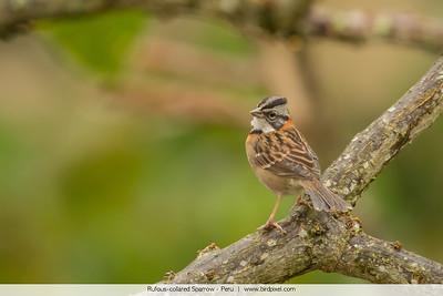 Rufous-collared Sparrow - Peru