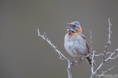 Rufous-collared Sparrow - Chile
