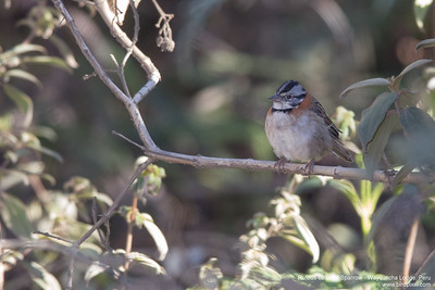 Rufous-collared Sparrow - Wayquecha Lodge, Peru