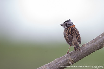 Rufous-collared Sparrow - Angel Paz de las Aves - Nr. Mindo, Ecuador