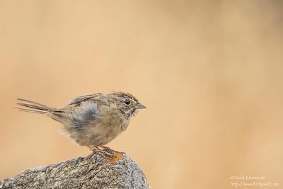 Rufous-crowned Sparrow - San Jose, CA, USA