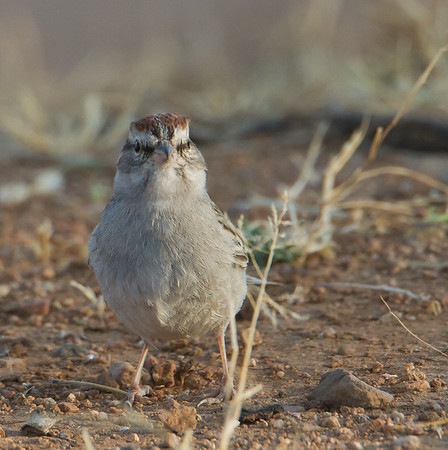 Buntings & New World Sparrows - Emberizidae