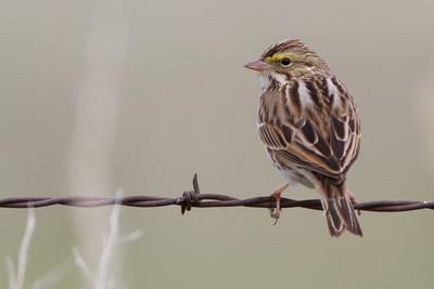 Savannah Sparrow - Panoche Valley, CA, USA
