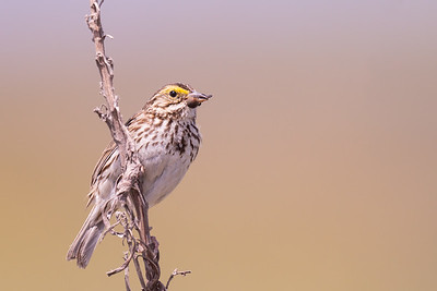 Savannah Sparrow - Alviso, CA, USA