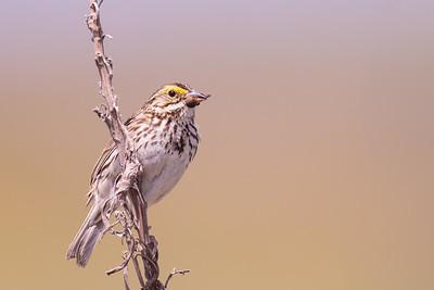 Savannah Sparrow - Alviso, CA, USA