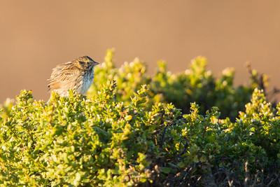 Savannah Sparrow - Half Moon Bay, CA, USA