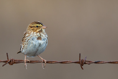 Savannah Sparrow - CA, USA