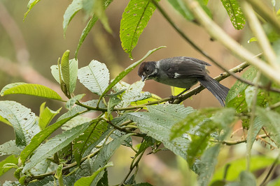 Slaty Brush-Finch - Papallacta, Ecuador