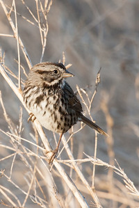 Song Sparrow - Alviso, CA, USA