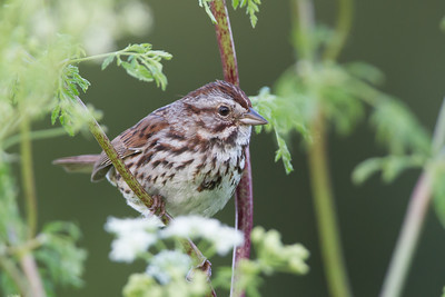 Song Sparrow - Los Altos, CA, USA
