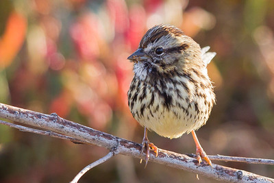 Song Sparrow - Palo Alto Baylands, Palo Alto, CA, USA