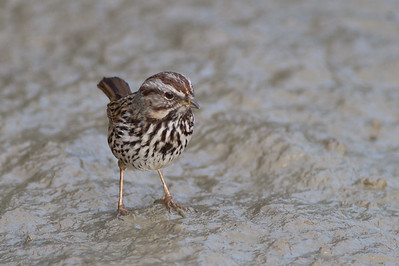 Song Sparrow - Mountain View, CA, USA