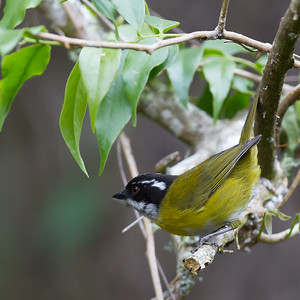 Sooty-capped Bush-Tanager - Savegre, Costa Rica