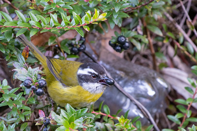 Sooty-capped Bush-Tanager - San Jose, Costa Rica