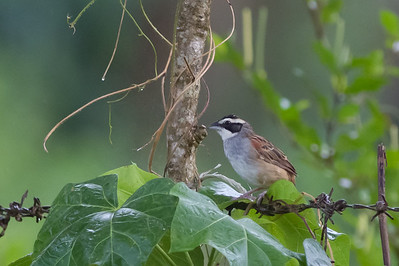 Stripe-headed Sparrow, Rio Tarcoles, Costa Rica