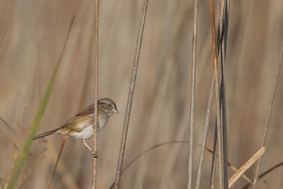 Swamp Sparrow - Coyote Hills Regional Park, Fremont, CA, USA
