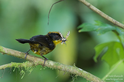 Tricolored Brush-Finch - Record - Mindo, Ecuador
