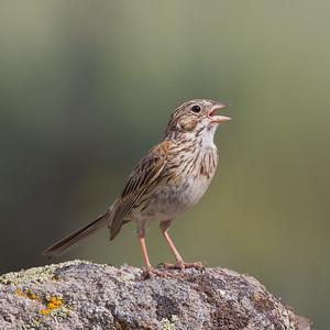 Vesper Sparrow - Kyburz Flats, Near Sierraville, CA, USA