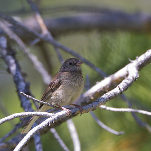 Vesper Sparrow - Donner Picnic Ground, Truckee, CA, USA
