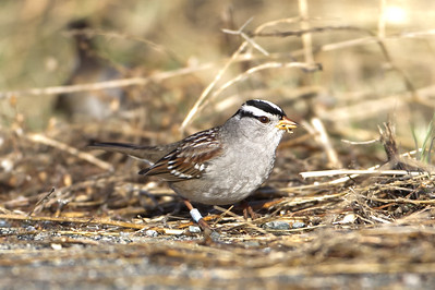 White-crowned Sparrow - Palo Alto Baylands, Palo Alto, CA