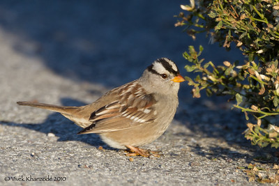 White-Crowned Sparrow - Alviso, CA
