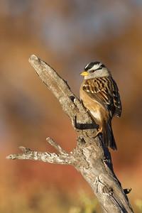 White-Crowned Sparrow - Alviso, CA, USA