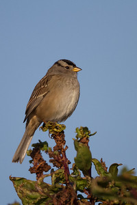 White Crowned Sparrow - Gambel's - Bedwell Bayfront Park, Menlo Park, CA, USA