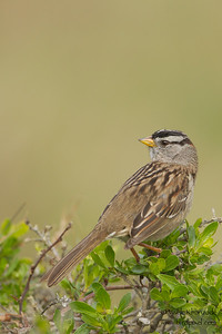 White-crowned Sparrow - Point Reyes National Seashore, CA, USA