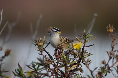 White-crowned Sparrow - Palo Alto Baylands, Palo Alto, CA, USA