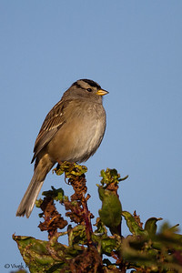 White Crowned Sparrow - Gambel's, Bedwell Bayfront Park, Menlo Park, CA
