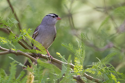 White-crowned Sparrow - Sweetwater Wetlands, Tucson, AZ, USA