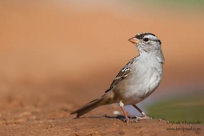 White-crowned Sparrow - Laguna Seca Ranch, Edinburg, TX, USA