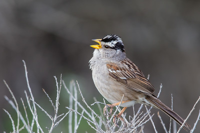White-crowned Sparrow - Point Reyes, CA, USA