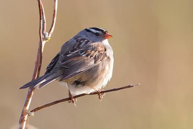 White-crowned Sparrow - Nome, AK, USA