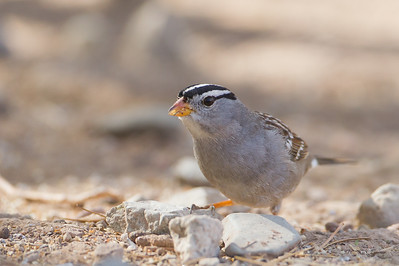 White-throated Sparrow - SBSSNWR Headquarters, Salton Sea Area, CA, USA