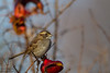 White-throated Sparrow - Stanford, CA, USA