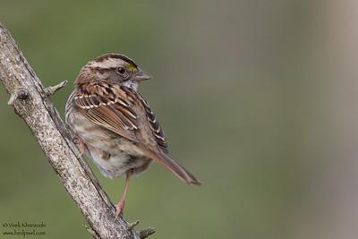 White-throated Sparrow - Female - Upper Peninsula, MI, USA