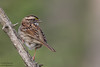 White-throated Sparrow - Female - Upper Peninsula, MI, USA
