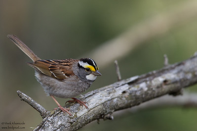 White-throated Sparrow - Male - Upper Peninsula, MI, USA