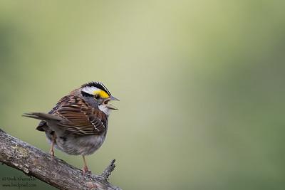 White-throated Sparrow - Male - Upper Peninsula, MI, USA