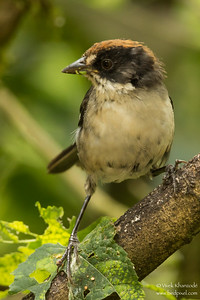 White-winged Brush-Finch - Mindo, Ecuador
