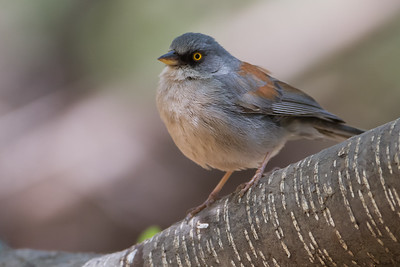 Yellow-eyed Junco - Near Sierra Vista, AZ, USA