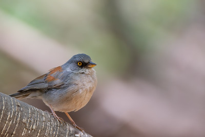 Yellow-eyed Junco - Carr Canyon, AZ, USA