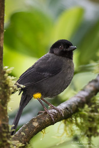 Yellow-thighed Finch - Cabanas Los Quetzales, Guadalupe, Panama