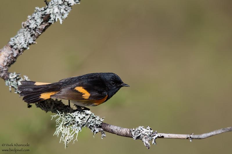 American Redstart - Male - Upper Peninsula, MI, USA