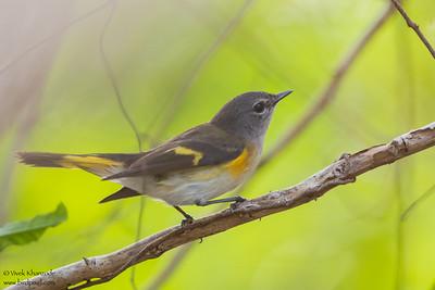 American Redstart - Record - Caye Caulker, Belize