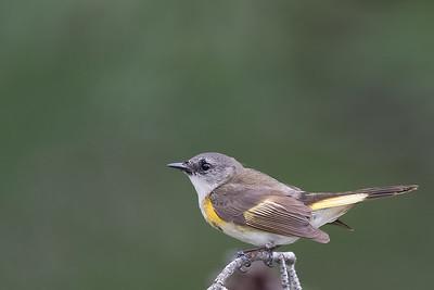 American Redstart - Female - Grayling, MI, USA